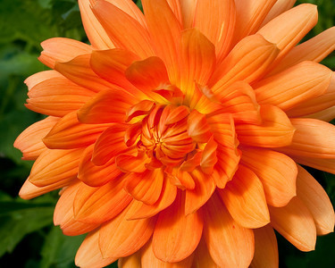 Orange flower (dahlia?) at hatchery
