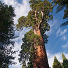 Another view of the General Grant Tree, the fattest tree in the world.