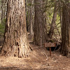 Two Sequoias planted in 1888 by one of the resident lumberjacks. Both are now about 5' in diamter and around 180' tall, showing how fast these trees can grow. After maxing out at around 260' in 300 years, old trees continue to add trunk bulk without loft.