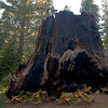 The Chicago Stump, with Alyssa in the background. Very Large Tree cut down for the 1893 Chicago Exhibition.