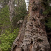 A large decaying trunk that remains in place in the regrowth of a grove cleared at the turn of the century.