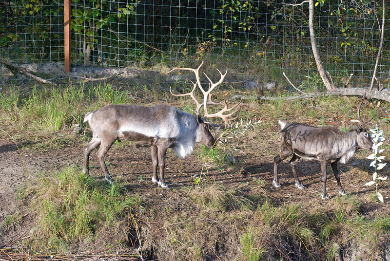 Reindeer - Riverboat Discovery Tour
