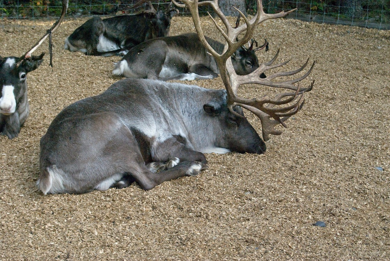 Napping Reindeer