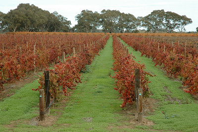 Bleasdale, one of the oldest businesses in Australia. The vineyard in its winter color.