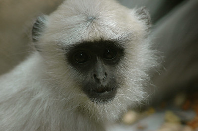 Darjeeling: The zoo was a lot of fun -- especially the langurs.