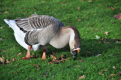 Another goose.