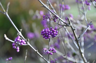Interesting purple berries.