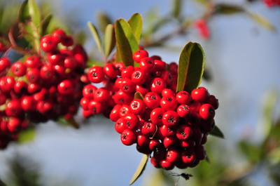 Pretty red berries.