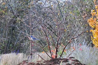 A blue bird - I think it's a Scrub Jay.