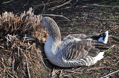 Goose picking at dead plant.