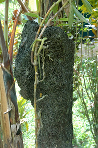 many homes use tree-fern stumps as decoration, or (here) as an orchid growing planter. (Abaca village, Near Lautoka, Fiji.)