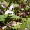 White Trillium flower. Also saw some red ones but the pictures didn't turn out.
