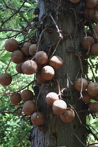 Cannonball Tree1