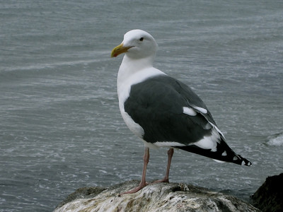 Sea gull at Morro Rock, CA