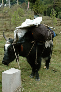 Himalaya Trek: Our baggage is packed on four horses and four dzos like this.