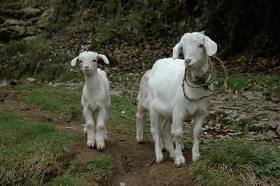 Himalaya Trek: we pass a goat and her kid on the way from Dodhrey to Tonglu.