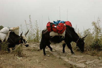 "Himalaya Trek: The ""dzo"" is a cross between a yak and a cow."
