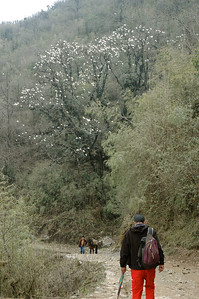 Himalaya Trek: The Magnolia trees were in bloom.