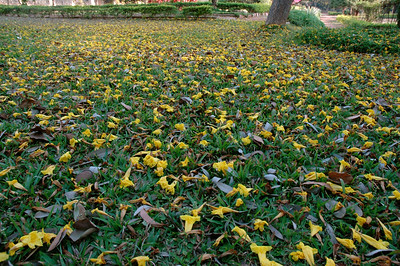 IISc: outside ECE department, a tree litters the ground in flowers.