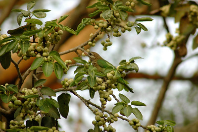 IISc: green Barbet, one of my favorite birds, is very hard to see.