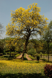 IISc: this tree, outside ECE department, is one of many.