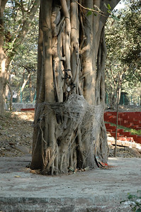 IIT Bombay: wives wind string around this temple tree to protect husbands.
