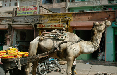 Jaipur: camels are common pack animals, even in town.