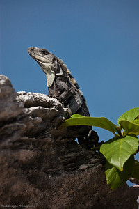 An Iguana sunning on a rock.