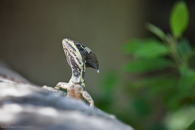A lizard at the Xcaret Ecological park.