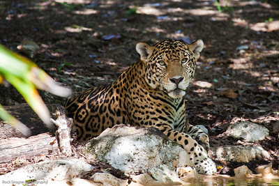 A jaguar at the Xcaret Ecological park.
