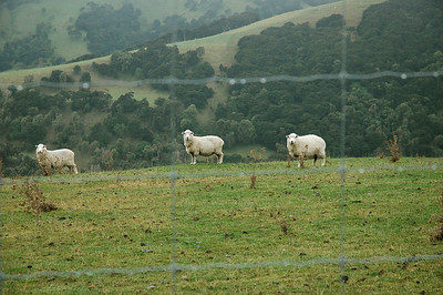 much of the Akaroa peninsula is pasture. New Zealand.