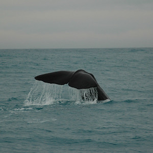 Another dive, so graceful. Kaikoura whale watching, New Zealand.
