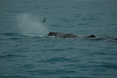 Tutu (the resident whale), with overflying bird. Kaikoura whale watching, New Zealand.