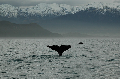 Another whale, another dive -- with spectacular backdrop.  Kaikoura whale watching, New Zealand.