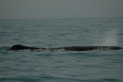 Tutu, one of the resident sperm whales. Kaikoura whale watching, New Zealand.