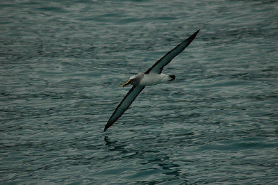 An albatross skims the water. Kaikoura whale watching, New Zealand.