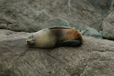 another fur seal snoozes on the rocks.  New Zealand. South Island, east coast.