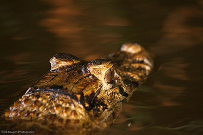 A Black Caiman in  Lake Sandoval, Peru.