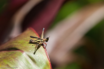 A little grasshopper on a leaf in the rain forest of Peru.
