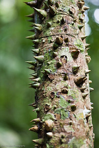 A Spiky tree  in the Peruvian rain forest.