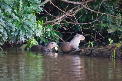 Giant River Otters in Lake Sandoval, Peru.
