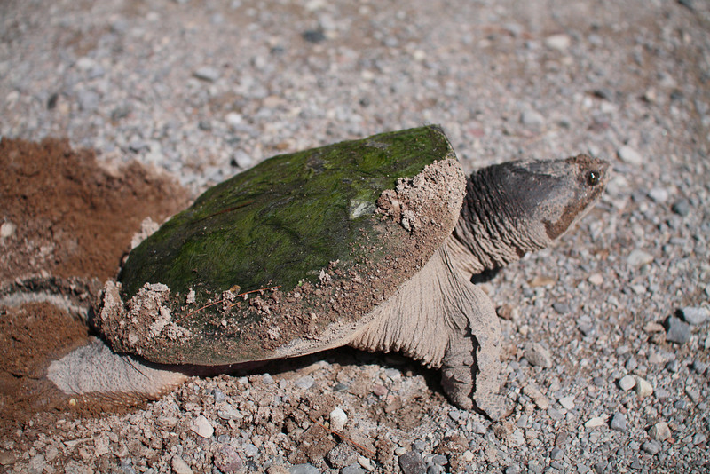 This Common Snapping Turtle (Chelydra serpentina) was digging egg hole #2 right on the edge of the main park parking lot.