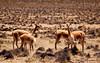 Vicunas herd, Reserva Nacional Salinas y Aguada Blanca. Colca Canyon.
