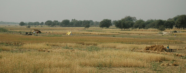 Rajasthan: harvest time in the vast wheat fields.