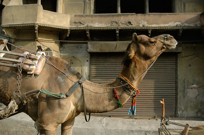 A common pack animal, camels are often decorated (Jaipur).
