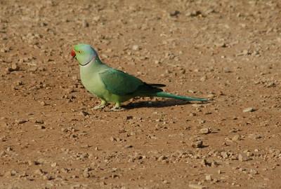 Ranthambore: rose-ringed parakeet.