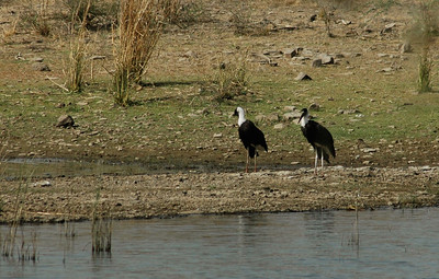 Ranthambore: white-breasted storks.