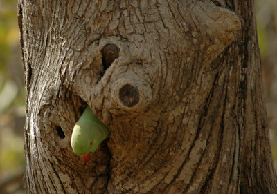 Ranthambore: rose-ringed parakeet peeps from its home.