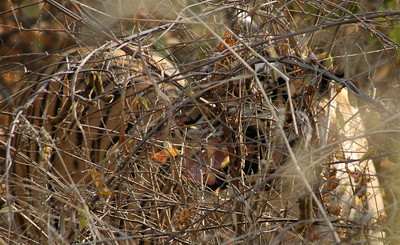 Ranthambore: hard to see, but look at this tiger's fangs!