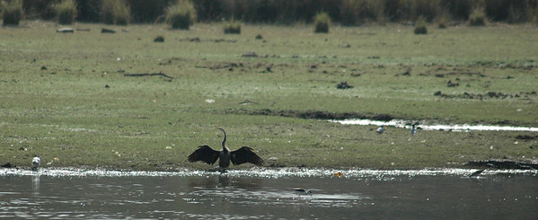 Ranthambore: Anhinga (darter) dries its wings while croc watches from right.